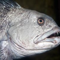 Atlantic-Wolffish-by-Paul-Kay