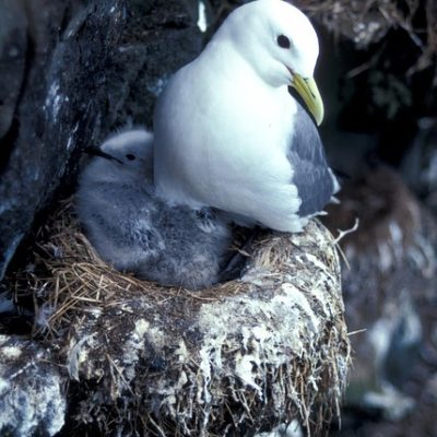 Blacklegged Kittiwake Bird Nature Outside Snow