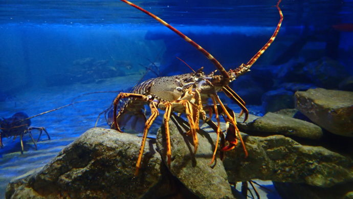 Spiny lobster ASZ 2019